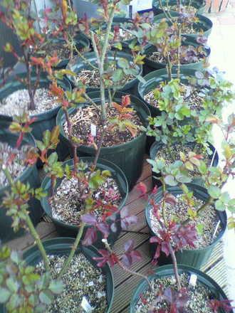 玄関先の切花種苗