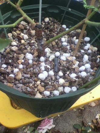 P1008812芽接ぎ苗の手入れ