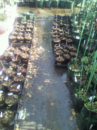 P1009182芽接ぎ苗の風景2