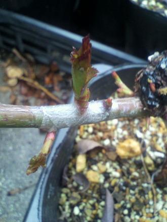 P1007798芽接ぎ苗の発芽1
