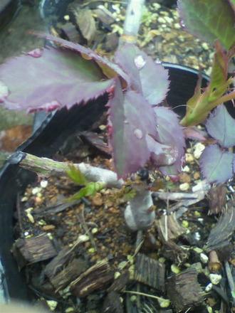 P1007795芽接ぎ苗の発芽4