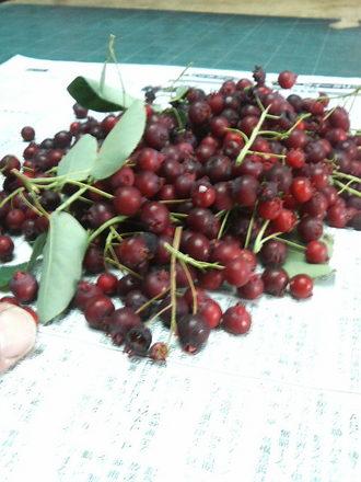 収穫したジューンベリーの選別