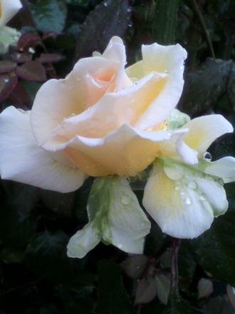 J・スウィーティー :切花種