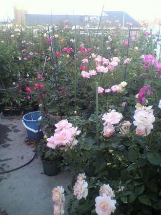 P1006965咲き散るバラ2