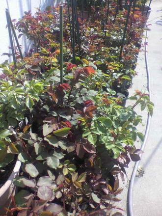 P1007869切花種養成苗2