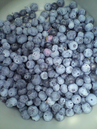 P1003189ブルーベリー収穫
