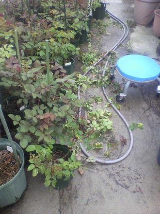 P1007905養成苗の整枝&芽掻き