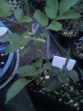 P1009184芽接ぎ苗の支柱立て