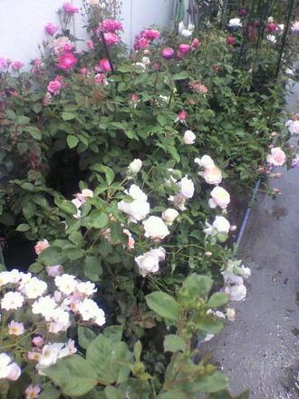 P1006743切花種コーナー1