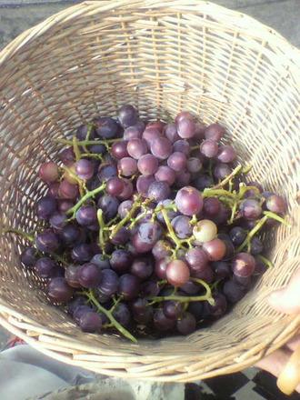 P1007243ブドウ収穫5日
