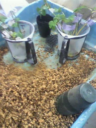 P1007822水挿しの鉢上げ1