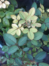 ミニバラ葉色混在