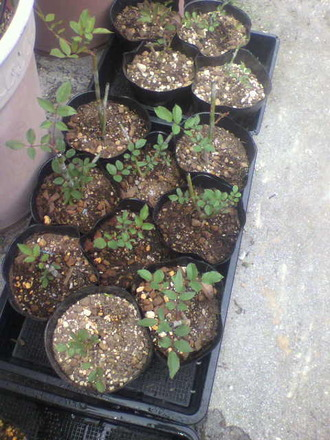 P1007926オドラータ芽接ぎ苗鉢増し