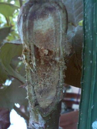 枝枯れ病の手当て4
