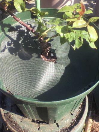 P1009226鉢カバーを使う