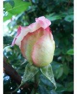 つるピースの開花