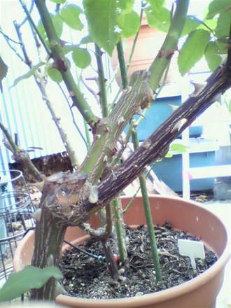 枝枯れ病の手当て