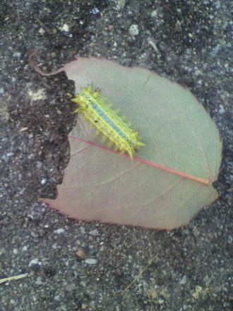 P1008921イラガ幼虫
