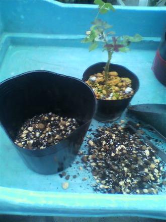 P1006770挿し木苗の鉢増し