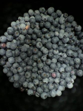 P1005026ブルーベリー収穫