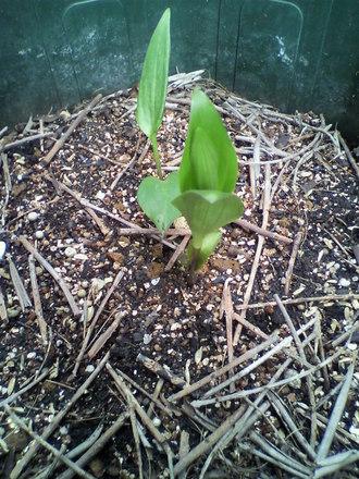 カサブランカの脇芽