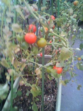 P1009262トマト収穫中11月9日