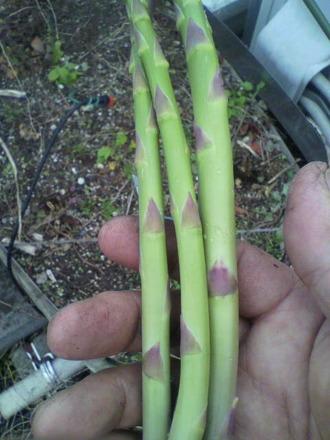 P1005690アスパラガス収穫