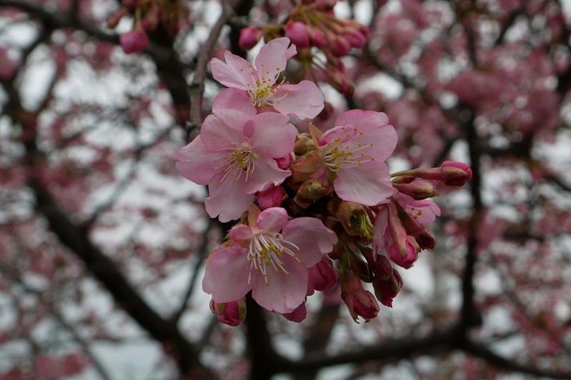 20170218近所の桜P1290652a