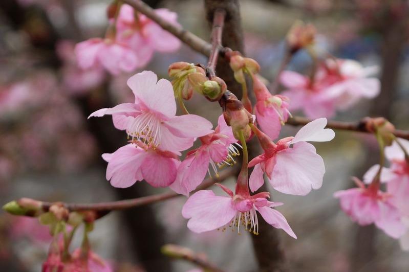 20170218近所の桜P1290641a