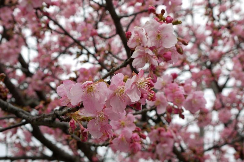 20170218近所の桜P1290656a