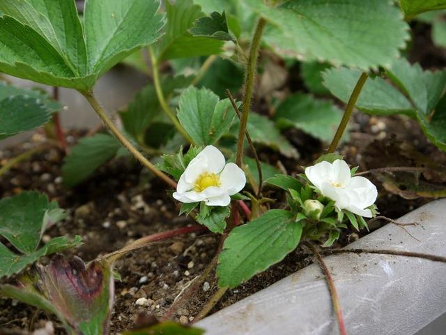 20171011P1330162イチゴの花a