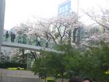 ミッドタウン桜