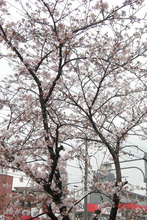 DSCN2397_56sakurasaku_Ed01