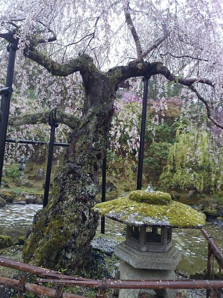 吉野山 一目千本吉野桜 (2)