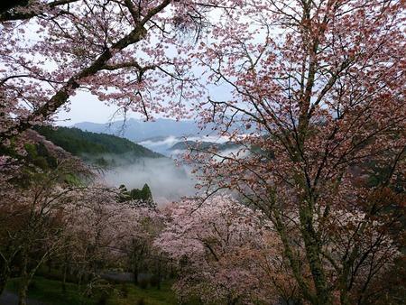 吉野山 一目千本吉野桜 (15)