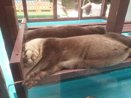 二見水族館ツメナシカワウソ (1)