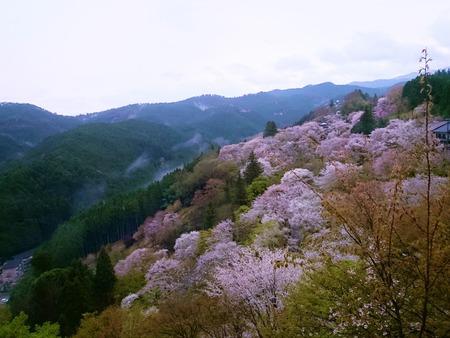 吉野山 一目千本吉野桜 (18)