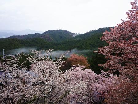 吉野山 一目千本吉野桜 (11)
