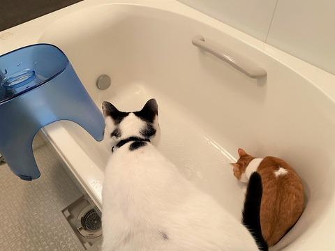 猫が浴槽でお湯が出てきて逃げる画像