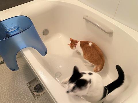 猫が浴槽でお湯が出てくるのを待ってる画像