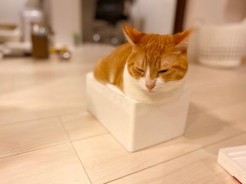 発泡スチロールにぎりぎり入る猫