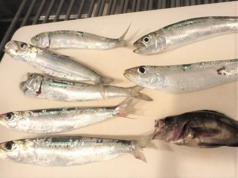 初釣果はメバルとアジ合計7匹