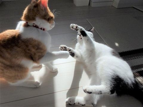猫じゃれ合い