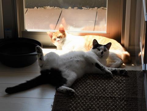 割り込む猫のヤタ