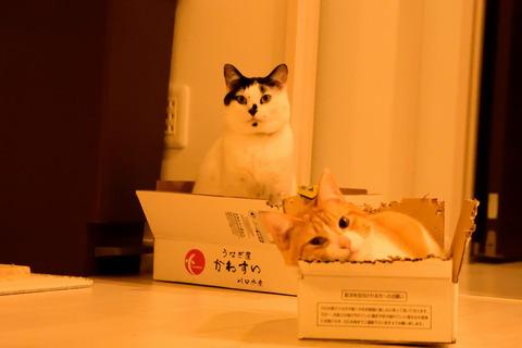 猫2匹が仲良く段ボール