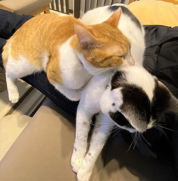 膝上でひしめき合う猫