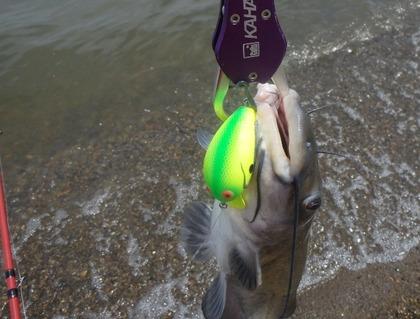 1698-7catfish&goro