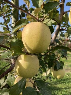 阿部リンゴ園