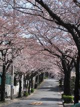 世田谷の桜