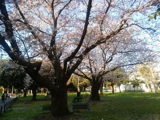 シェアハウス近くの桜